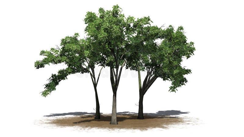 Flera träd för amerikansk alm på ett sandområde stock illustrationer