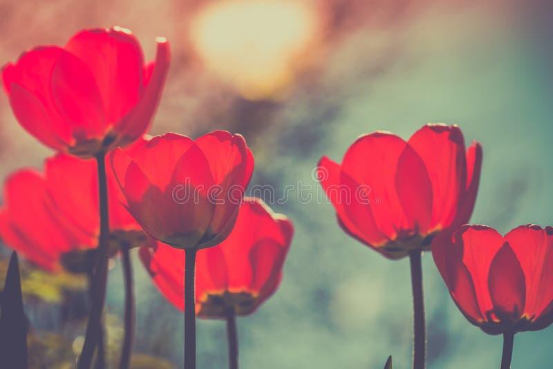 Flera tulpan växer i trädgården Mörker tonad bild royaltyfri foto