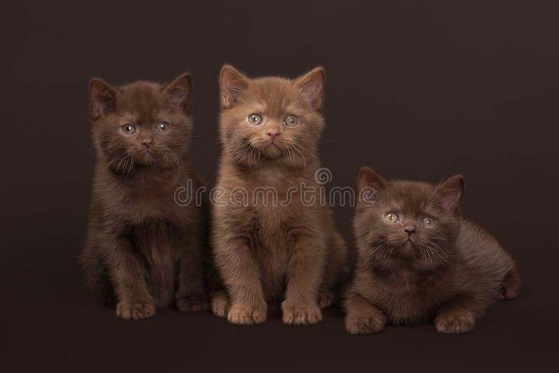 Flera unga brittiska kattungar royaltyfria foton