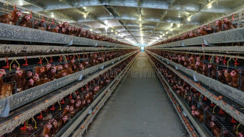 Flernivå-produktionslinjetransportörproduktionslinje av fega ägg av en hönseri arkivfoton