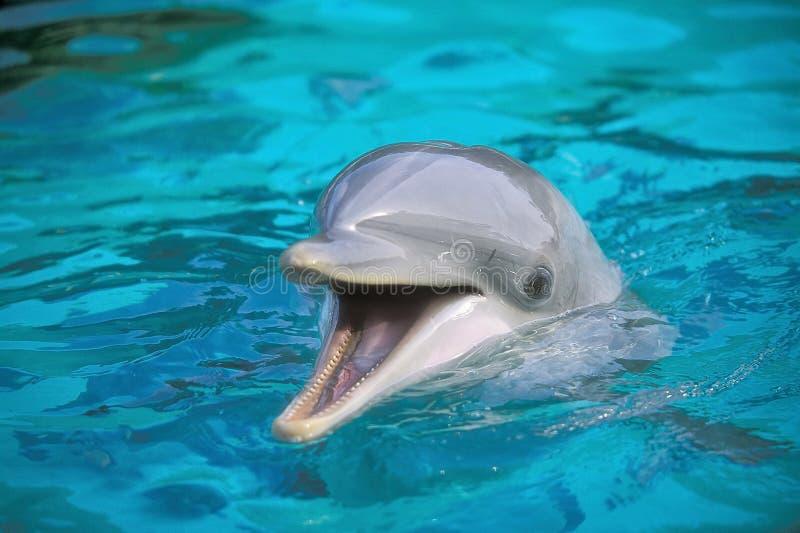 Fles-neus Dolfijn (truncatus Tursiops) stock afbeeldingen