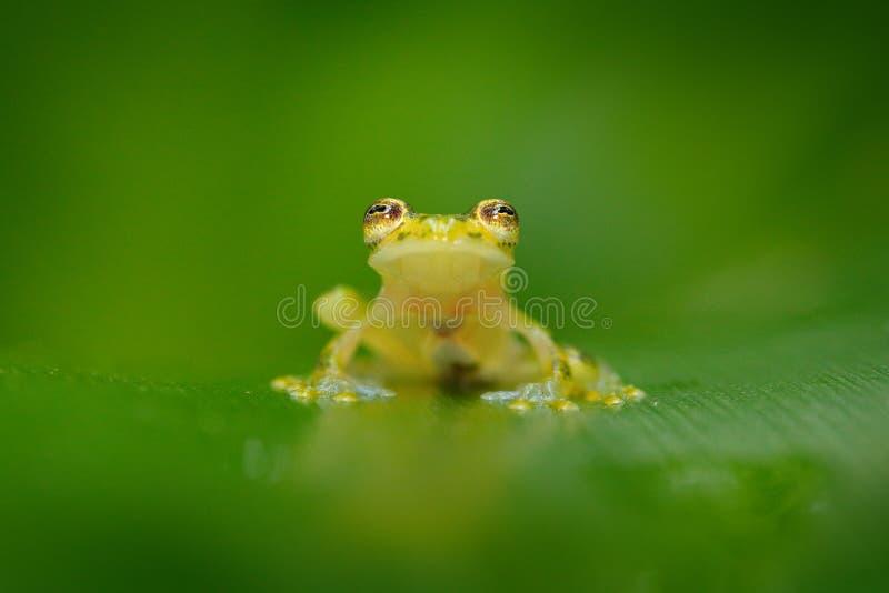 Fleschmanns Glass Frog, Hyalinobatrachium fleischmanni in nature habitat, animal with big yellow eyes, near the forest river. Fro royalty free stock photography