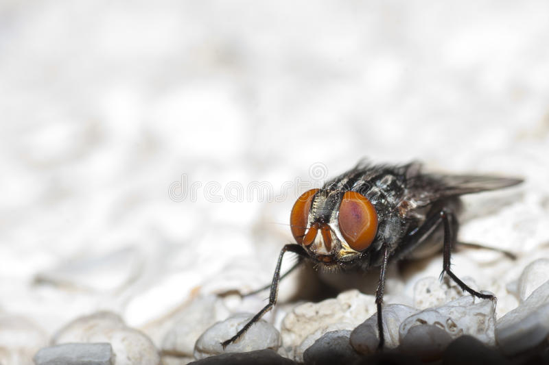 Download Flesh fly stock photo. Image of rock, insect, stare, eyes - 14859502