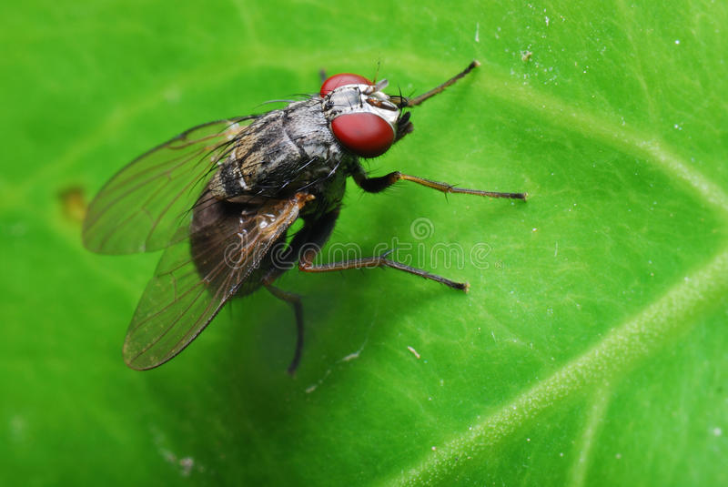 Flesh Fly. A macro photo taken on a small flesh fly resting on a green leaf stock photos