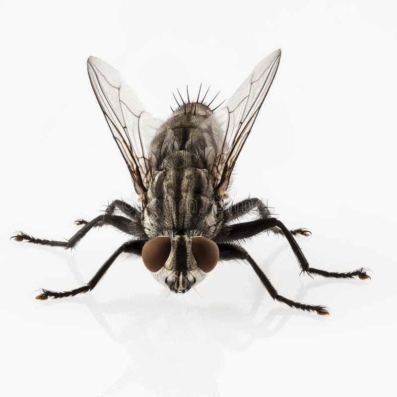 Flesh fly. Species sarcophaga carnaria on white background stock image