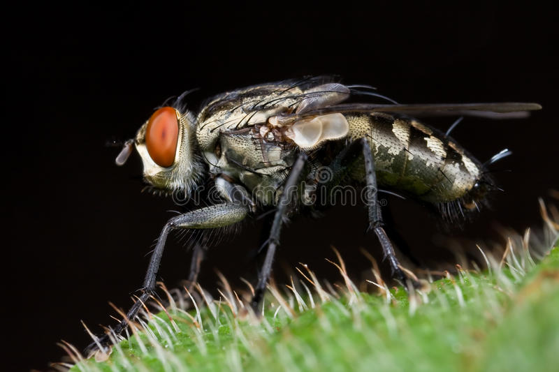 Download Flesh fly stock image. Image of closeup, fauna, maroon - 9576319