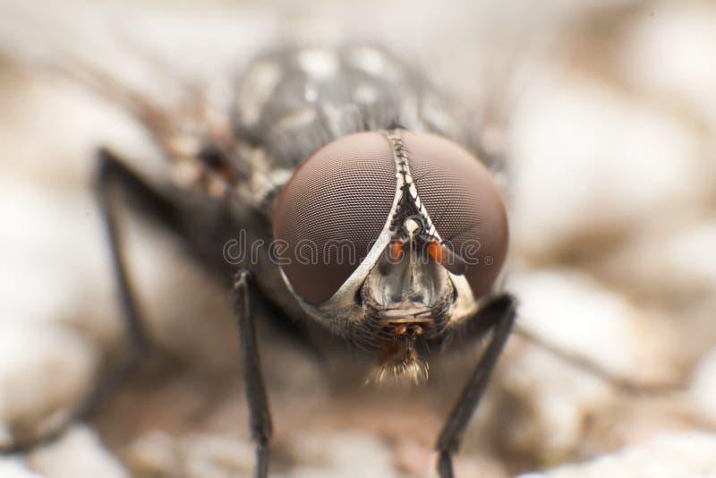 Flesh Fly Stock Photography