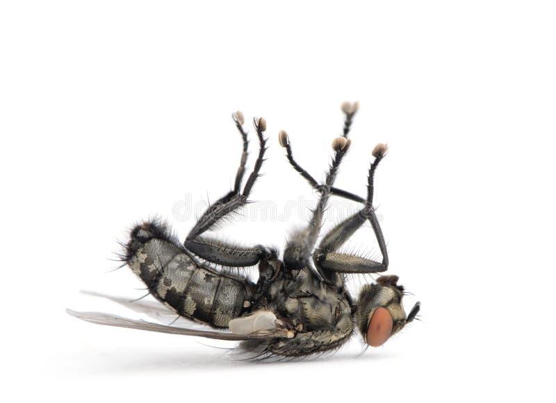 Download Flesh Fly Lying On Back Against White Background Stock Photo - Image: 10930258