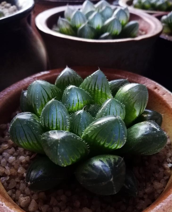 Glittering and translucent and transparent succulent plants. Fleshy leaves are arranged in a rosette of compact, leaves hypertrophy, emerald green, upper part is royalty free stock image