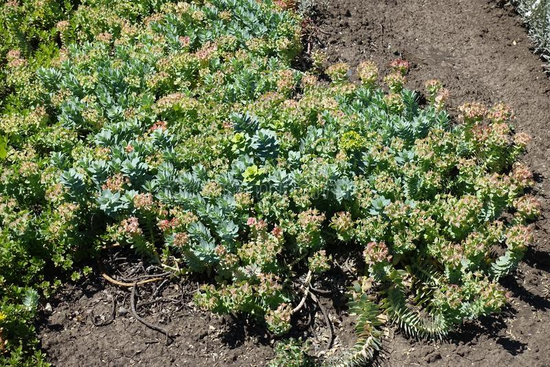 Fleshy pale glaucous bluish-green leaves and yellow flowers of myrtle spurge stock photo