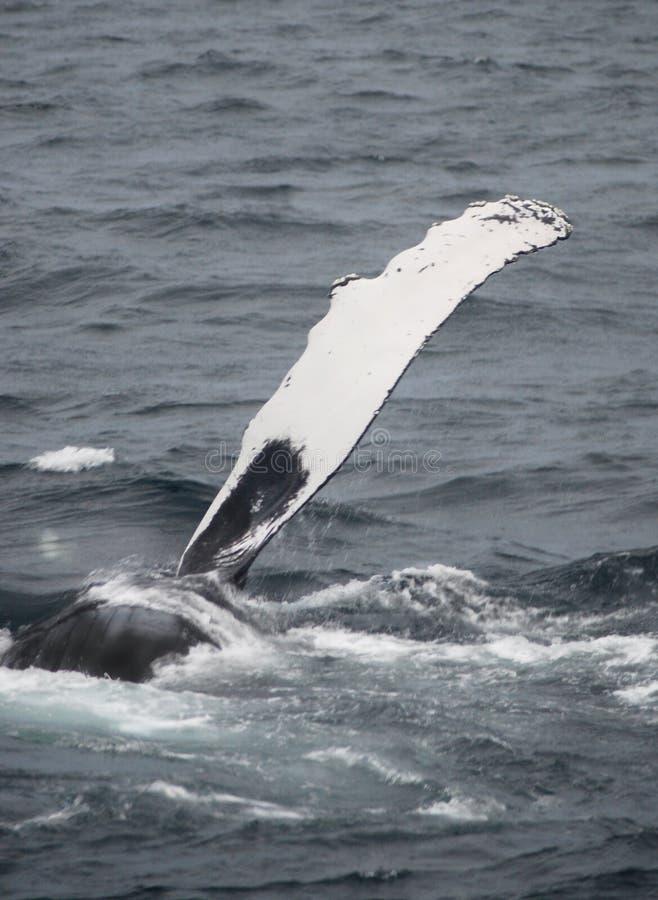 Flet de baleine de bosse image stock