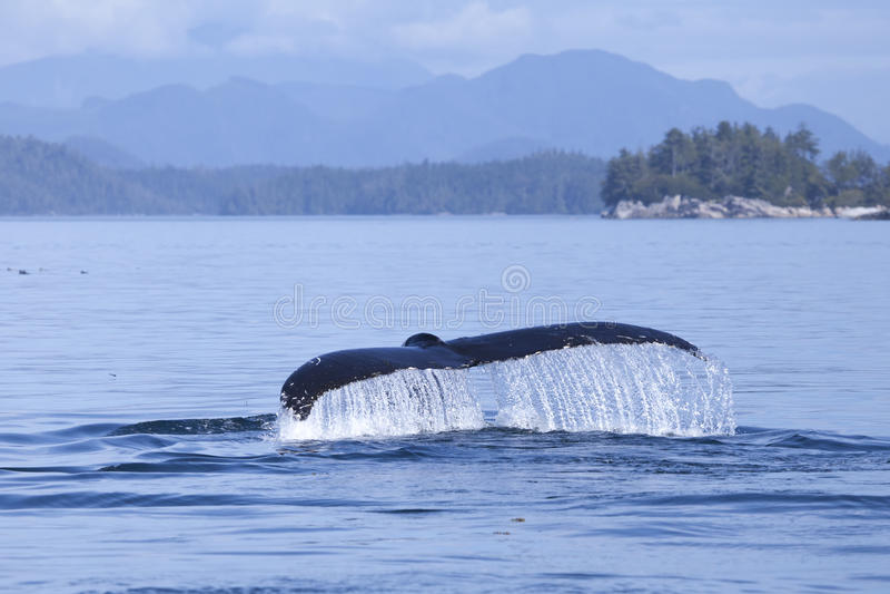 Flet de baleine d'égoutture image stock
