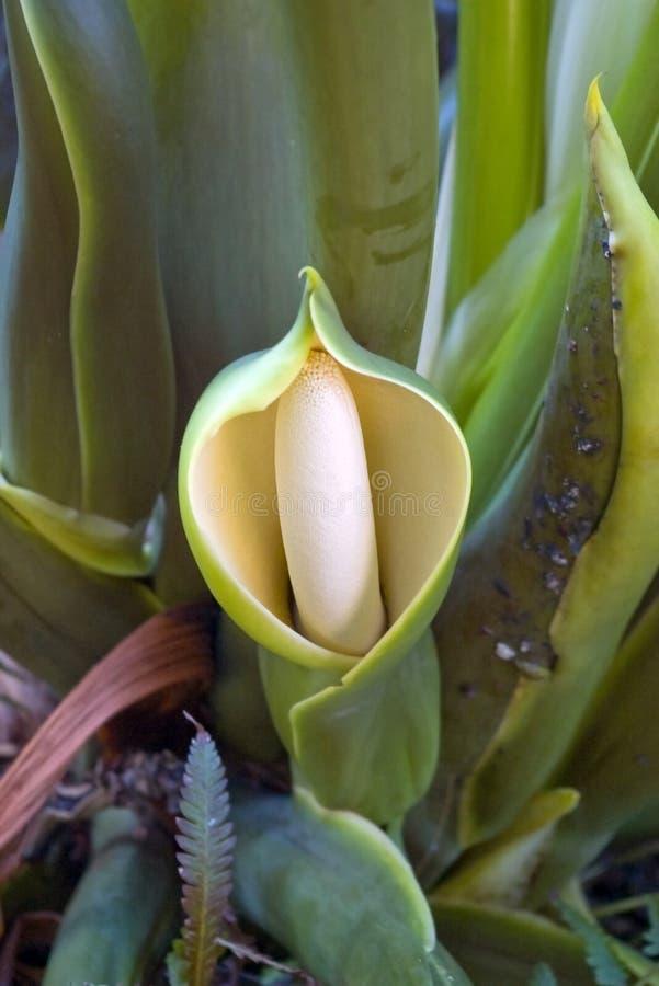 Fleur à capuchon exotique image libre de droits
