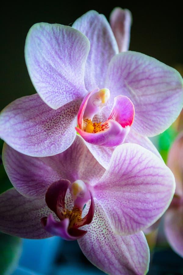 Fleur à la maison en rosée photographie stock libre de droits