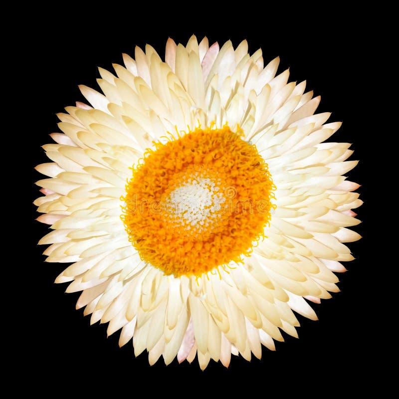 Fleur éternelle blanche simple d'isolement photographie stock