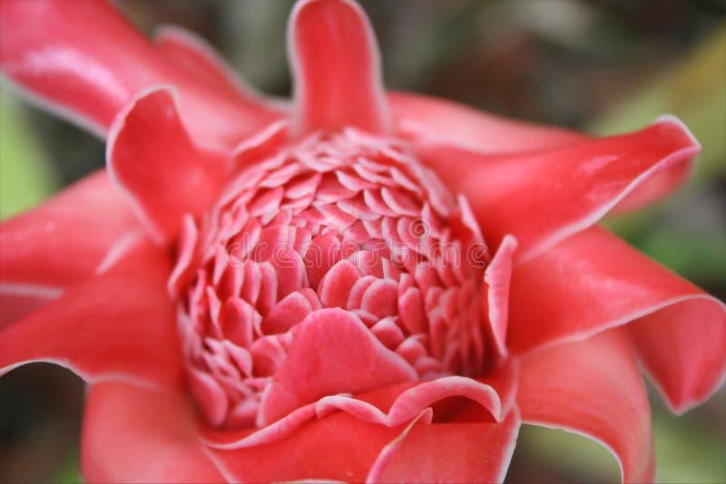 Fleur #3 de gingembre photographie stock libre de droits