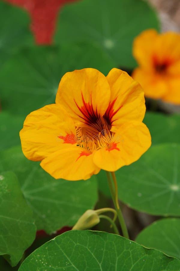 Download Fleur photo stock. Image du closeup, fleur, orange, parfum - 725354