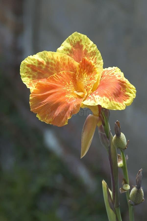 Download Fleur photo stock. Image du grand, orange, jardin, exotique - 72806