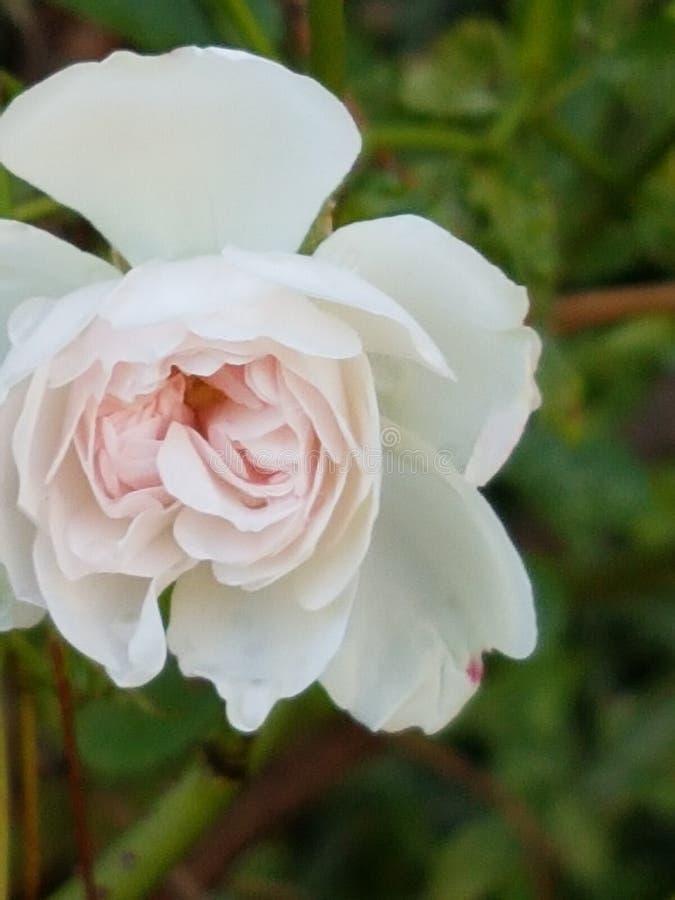 Fleur 1 photo libre de droits