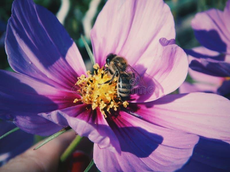 Fleur, abeille, pourpre, flairé photo stock