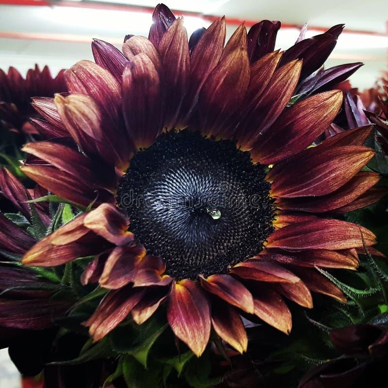 Fleur antique de Sun images stock