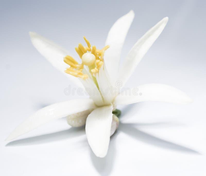 Fleur asiatique image stock