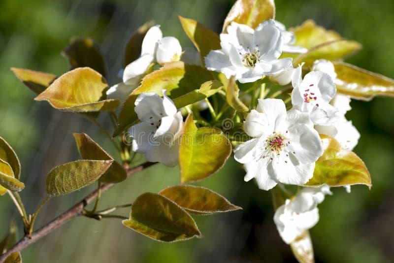 Fleur asiatique de poire images stock