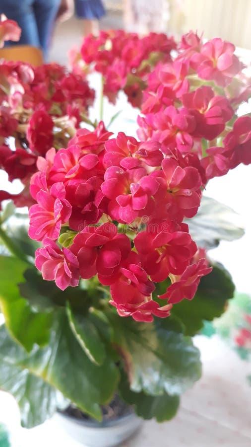 Fleur assez rouge photos libres de droits