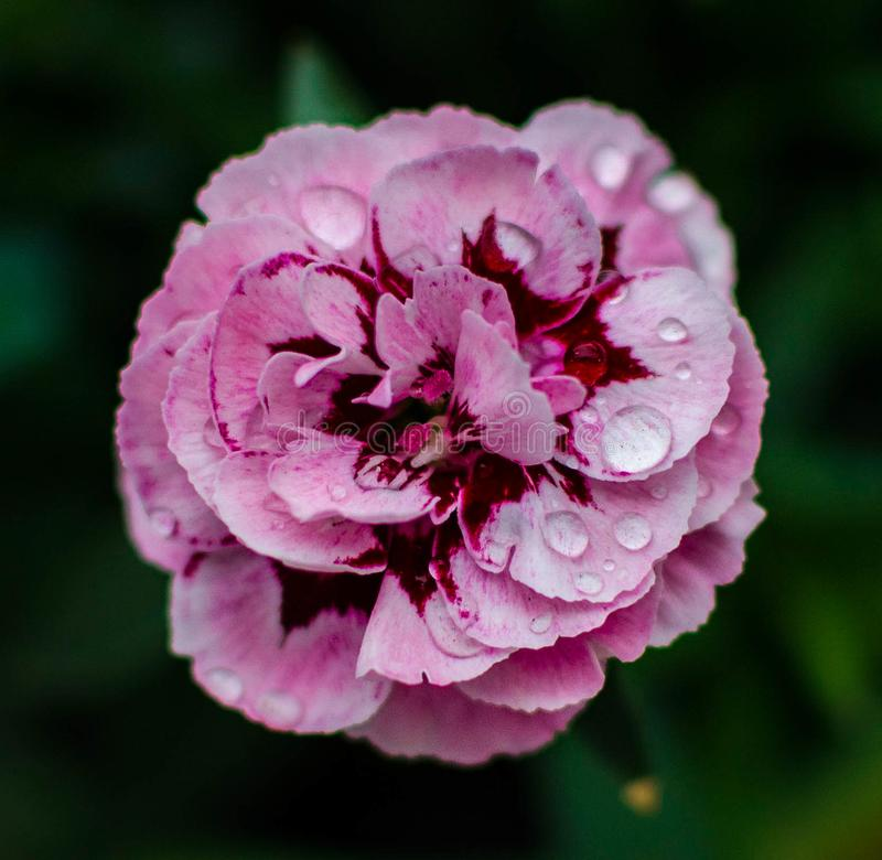 Fleur avec de l'eau dans la nature image stock