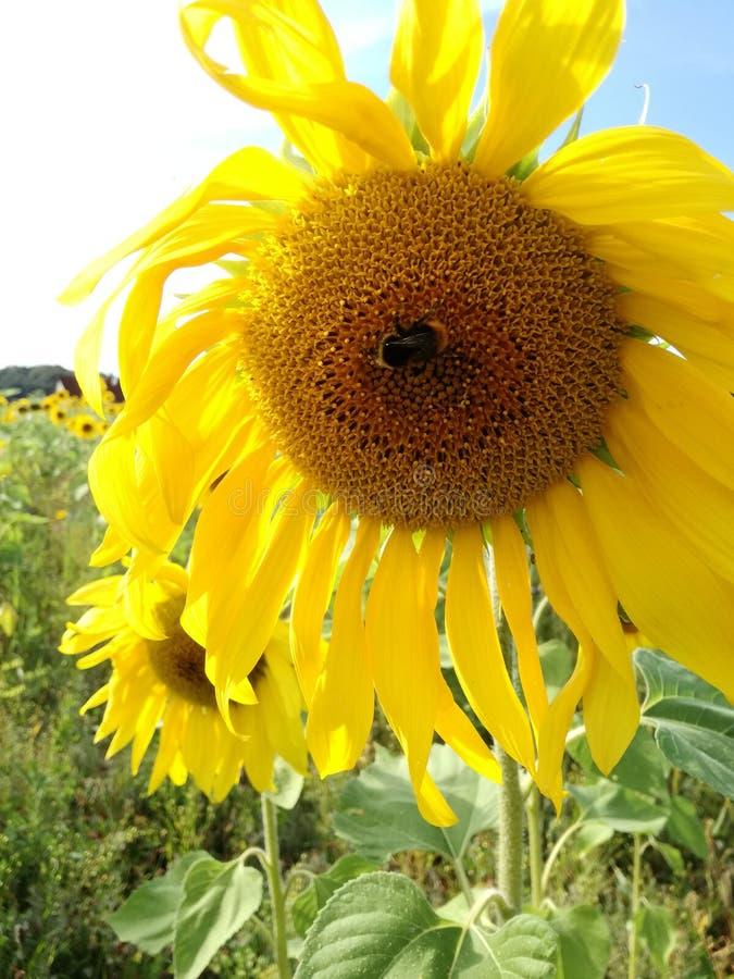 Fleur avec l'abeille photos stock