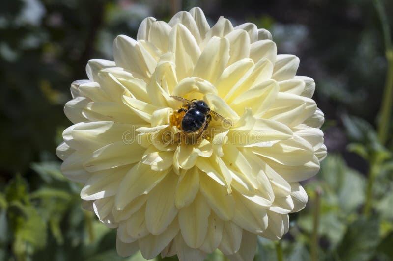 Fleur avec l'abeille photos libres de droits