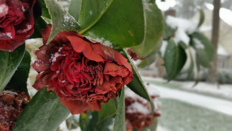 Fleur avec la neige photo stock