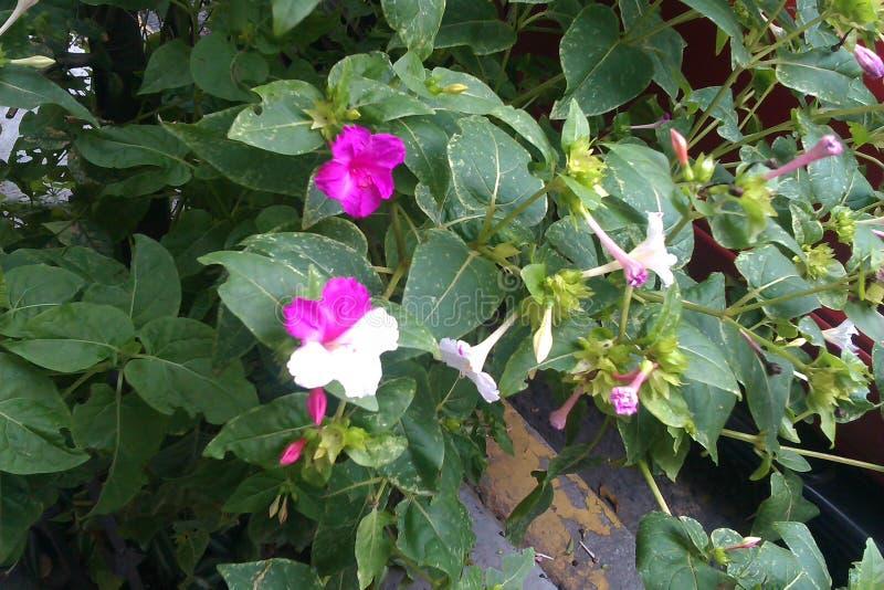 Fleur bicolore photographie stock libre de droits