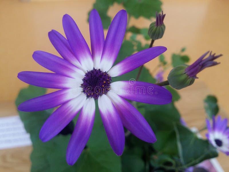 Fleur bicolore violette de Senetti photo stock