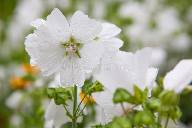 Fleur blanche après pluie photo stock