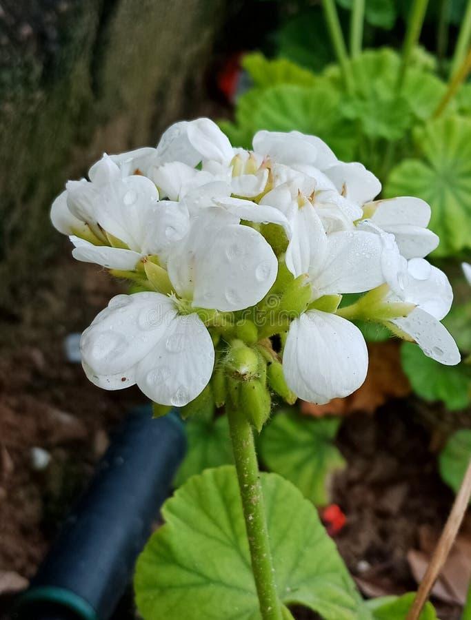 Fleur blanche arrosée photographie stock