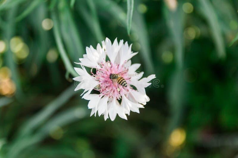 Fleur blanche avec l'abeille image stock