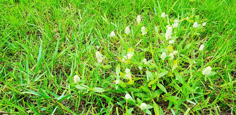 Fleur blanche avec l'herbe verte dans le jardin de champ photo stock