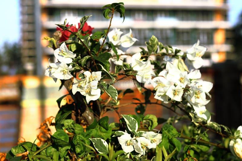 Fleur blanche avec le fond de tache floue image stock