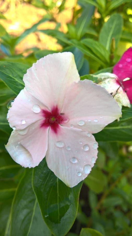 Fleur blanche avec les détails roses image libre de droits