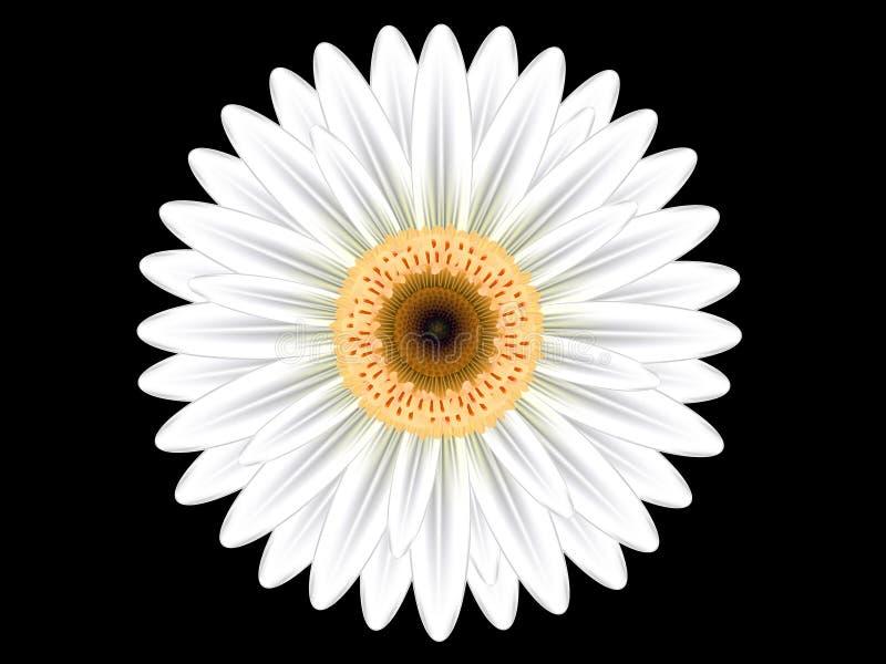 Fleur blanche colorée de gerbera photos libres de droits