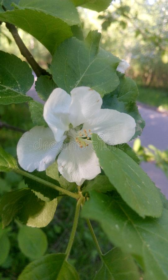 Fleur blanche comme neige d'Apple photo stock