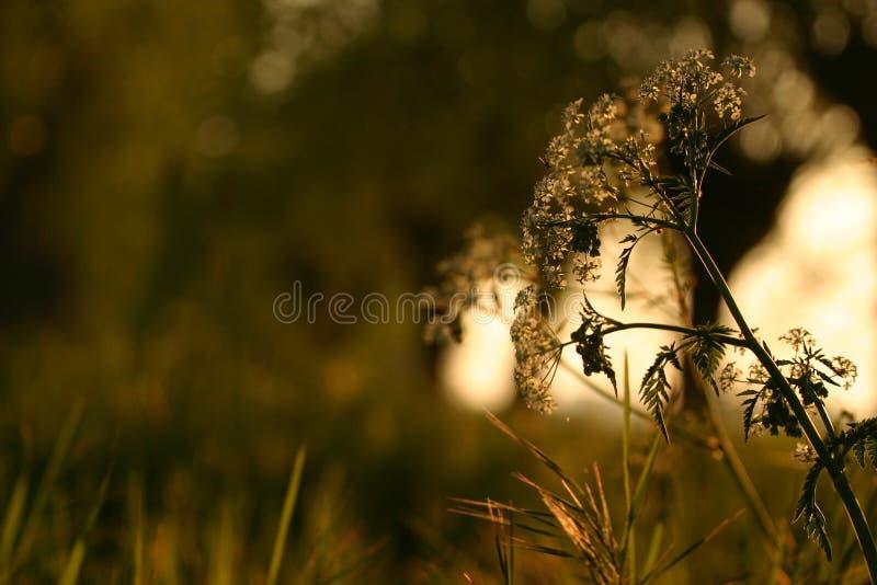 Fleur blanche, coucher du soleil d'or images stock