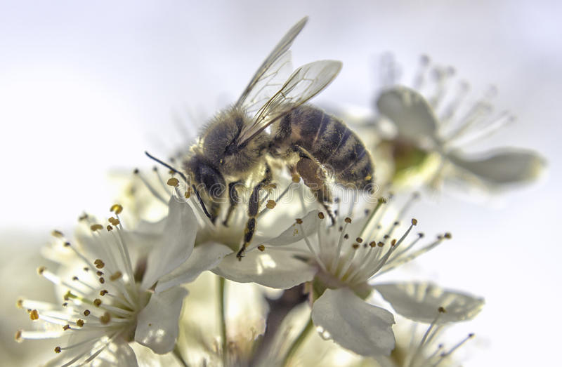 Fleur blanche d'abeille image stock