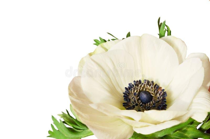 Fleur blanche d'anémone photographie stock