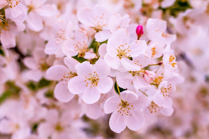Fleur blanche d'arbres de pomme sauvage au printemps photos libres de droits