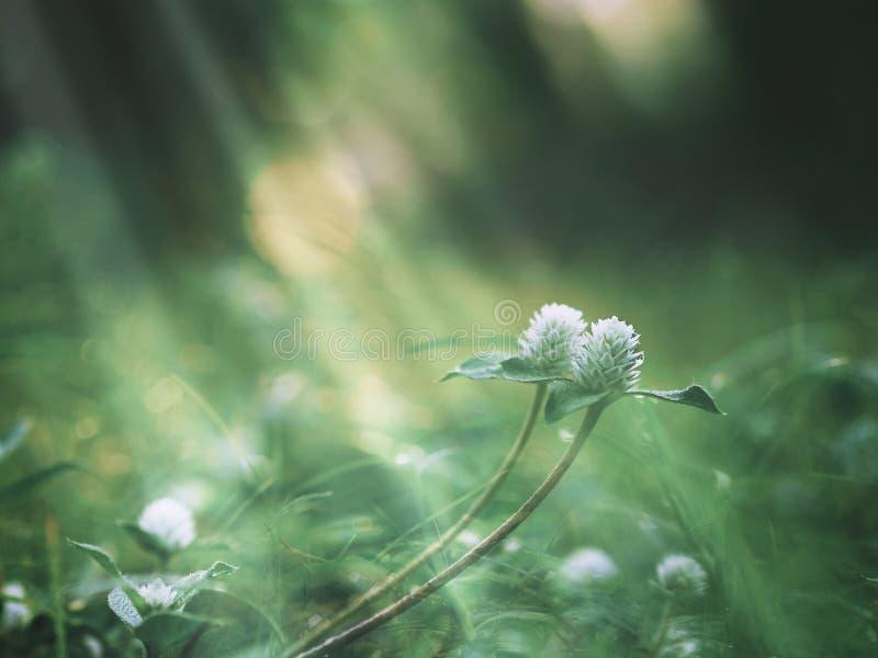 Fleur blanche d'herbe sauvage et feuilles vertes au champ images stock