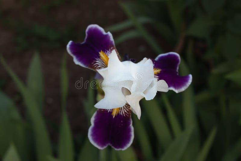 Fleur blanche d'iris avec les pétales latéraux pourpres et les veines jaunes en gros plan sur un fond vert des tiges photos libres de droits