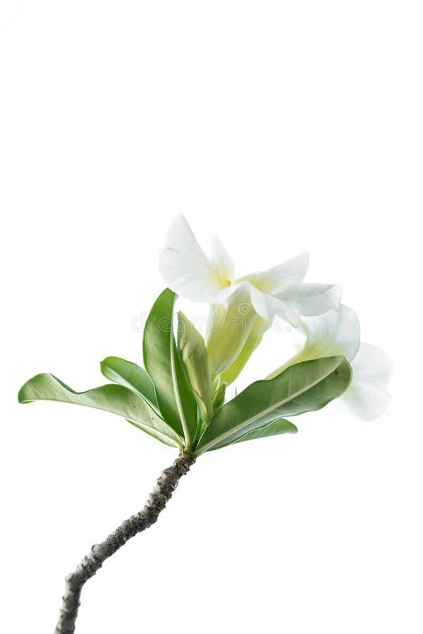 Fleur blanche d'isolement images libres de droits