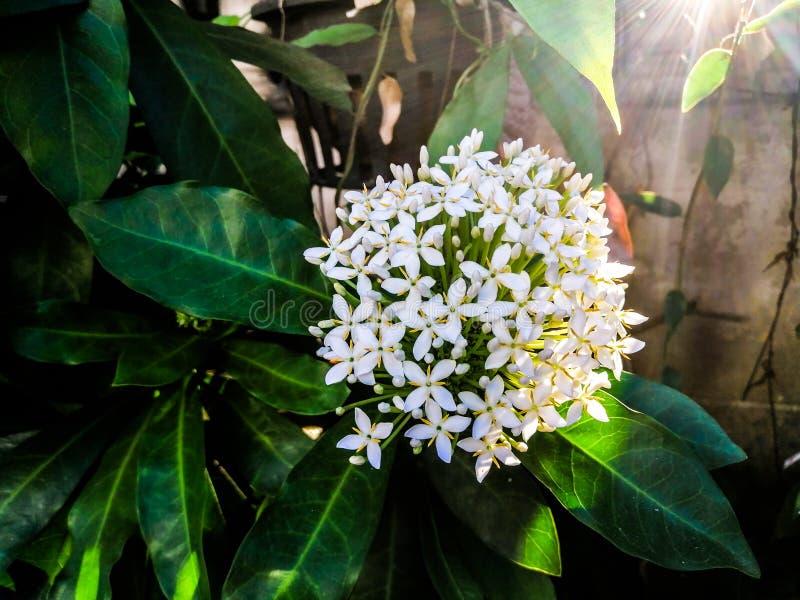 Fleur blanche d'Ixora - la lumière du soleil brille par la fleur blanche d'aiguille sur l'arbre photographie stock libre de droits